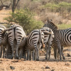 Burchell's zebra, Ol Donyo waterhole hide, Kenya