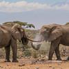 Bull elephants at Ol Donyo waterhole, Kenya