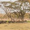 Elephant family near swamp and fever tree forest.  Lewa Conservancy, Kenya