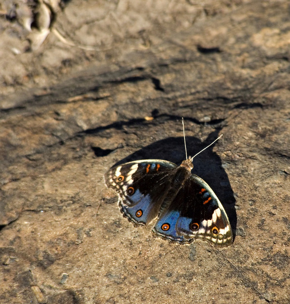 Butterfly, Masai Mara NP