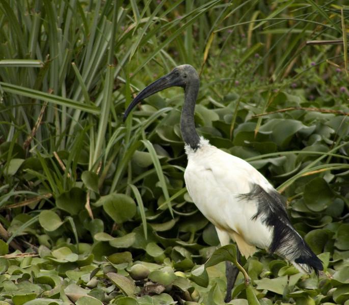 Sacred ibis, Lake Naivasha
