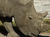 White rhino, Lake Nakuru NP