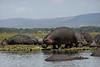 Hippos, Lake Naivasha