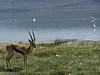 Thomson's gazelle, Lake Nakuru NP
