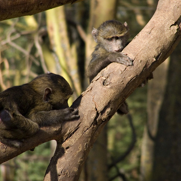 Baby baboons, Lake Nakuru NP