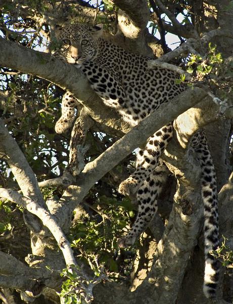 Leopard, Masai Mara NP