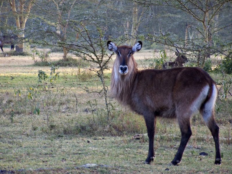 Waterbuck, Lake Naivasha
