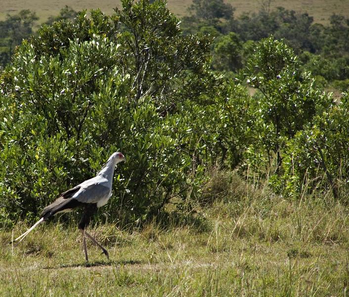 Secretary bird, Masai Mara NP