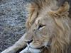 Lion, Masai Mara NP