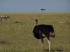 Ostrich, Masai Mara NP