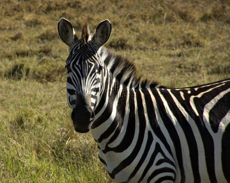 Zebra, Masai Mara NP