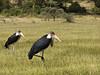 Marabou storks, Lake Nakuru NP
