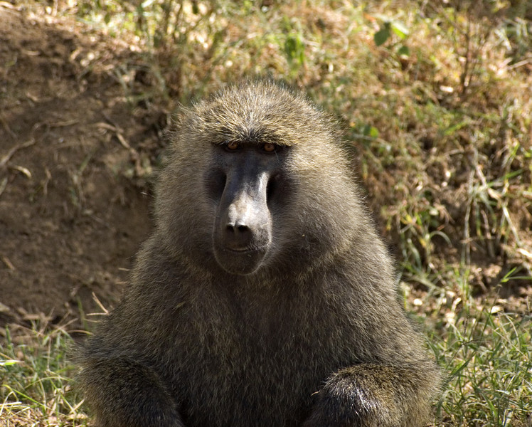 Baboon, Lake Nakuru NP
