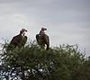 Vultures, Masai Mara NP