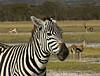 Zebra, Lake Nakuru NP