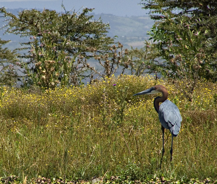 Goliath heron, Lake Naivasha