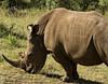 White rhino, Masai Mara NP