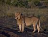 Young lion, Masai Mara NP