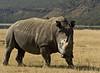 White rhino, Lake Nakuru NP.  I love this pose.
