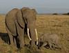 Elephants, Masai Mara NP
