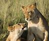Lions, Masai Mara NP