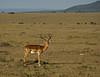 Impala, Masai Mara NP