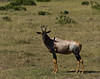 Topi, Masai Mara NP