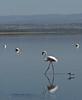 Flamingo, Lake Nakuru NP