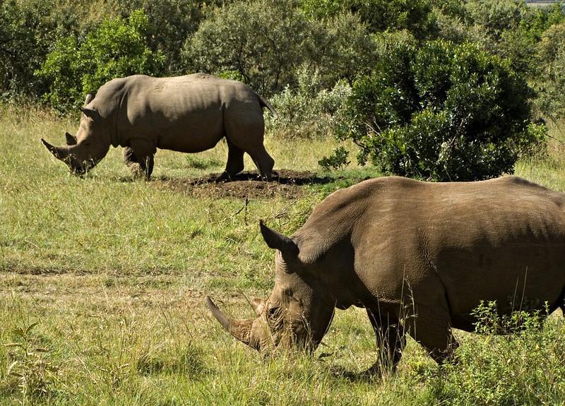 White rhinos, Masai Mara NP