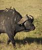 Buffalo and oxpeckers, Masai Mara NP
