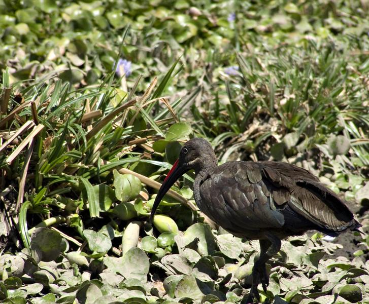 Hadada ibis, Lake Naivasha