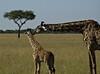 Giraffes, Masai Mara NP