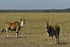 Elands, Masai Mara NP
