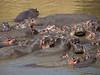 Hippos, Masai Mara NP