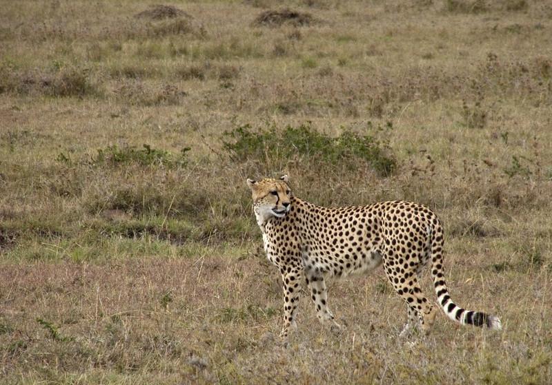 Cheetah, Masai Mara NP