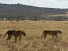 Lions, Lake Nakuru NP