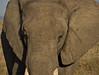Elephant, Masai Mara NP