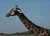 Giraffe, Masai Mara NP