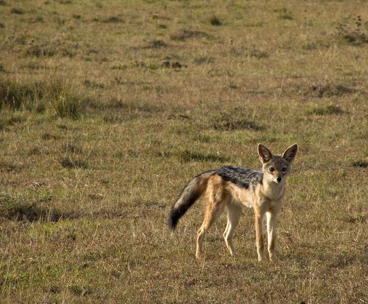 Jackal, Masai Mara NP