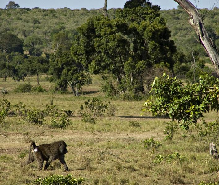 Baboon, Masai Mara NP