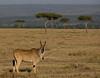 Eland, Masai Mara NP