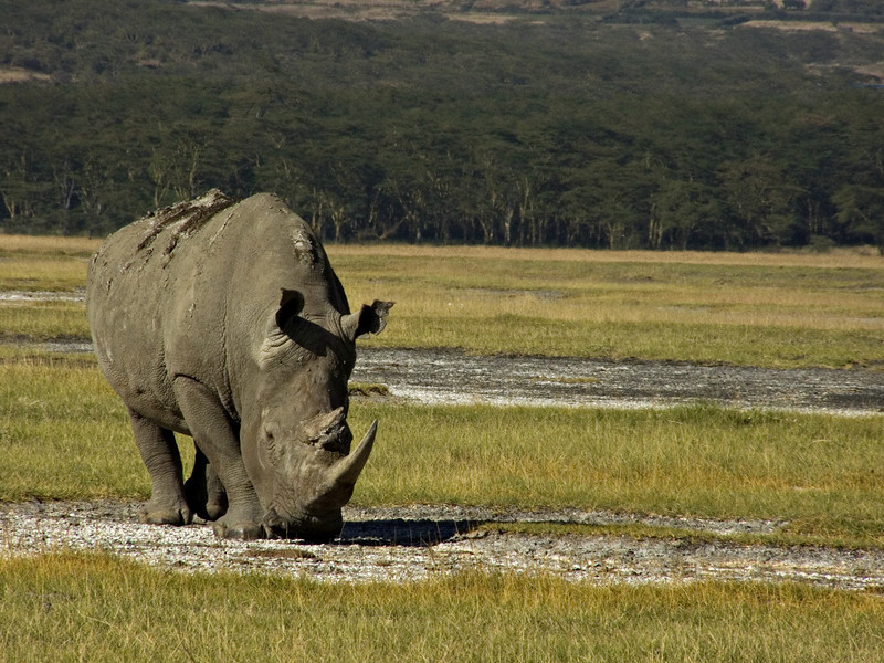White rhino, Lake Nakuru.  This rhino just lumbered along slowly, mouth down and eating the whole time, looking neither right nor left.  We must have seen eight or nine during our day at the park, so they seem pretty easy to spot.