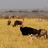Ostrich, Massai race
