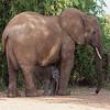 Elephant with a newly born.