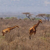 Giraffes, Reticulated