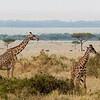 Giraffes, Masai race