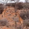 Giraffes, Reticulated