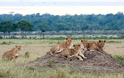Family photo of the lions at Masai Mara with the mother on the far left.  One could vaguely see the cubs on the right of the mother lion.