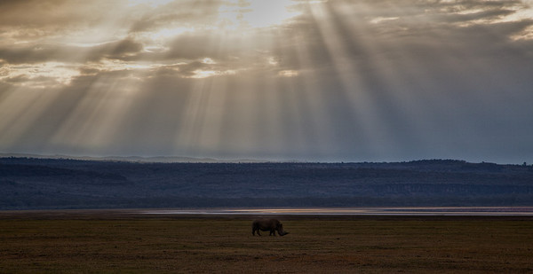 Black rhino at Lake Nakuru.  The red glow in the water behind the rhino was from the flamingos there.
