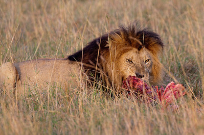 It was very early in the morning, and the lions had already made a kill and were having breakfast!